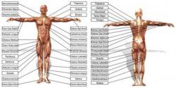Урок 11 - Тестирование 28 дополнительных мышц